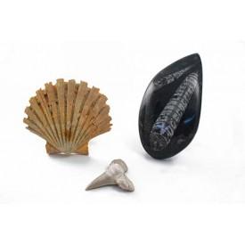 Απολιθώματα